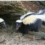 Skunk tests positive for rabies in Powder River County