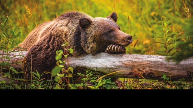 Grizzly bear in Big Snowies likely wintered there
