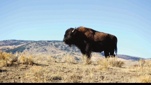 Park Service, US Forest Service propose new analysis of Yellowstone National Park bison management